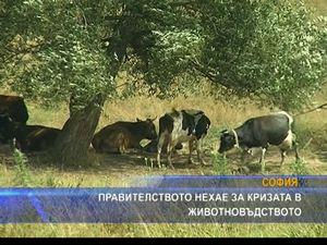 Правителството нехае за кризата в животновъдството