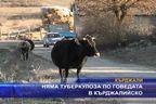 Няма туберкулоза по говедата в Кърджалийско