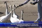 Храненето на лебедите е опасно, предупреждават биолози