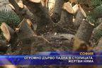 Огромно дърво падна в столицата, жертви няма