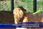 Млад лъв е новата атракция на варненския зоопарк