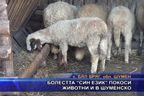 """Болестта """"син език"""" покоси животни и в Шуменско"""