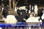 Дребни животновъди пред фалит