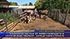 Сериозни загуби за животновъдите в село Млада гвардия, заради карантината