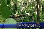 Хиляди дървета унищожени от цигански набези