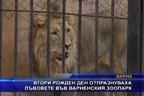 Втори рожден ден отпразнуваха лъвовете във варненския зоопарк
