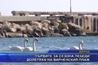 Първите за сезона лебеди долетяха на Варненския плаж