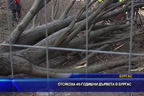 Отсякоха 40-годишни дървета в Бургас