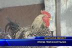 Птичи грип в Бургаско