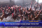 """Избиха над 250 хиляди патици заради """"птичи грип"""""""