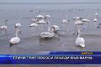 Птичи грип покоси лебеди във Варна