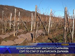 Лозаро-винарският институт съхранява сорт по-стар от българската държава
