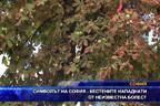 Символът на София - кестените нападнати от неизвестна болест