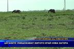 Циганите унищожават житото край Нова Загора