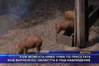 Към момента няма чума по прасетата във Варненско, областта е под наблюдение