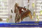 В Бургас се излюпи най-голямата нощна пеперуда