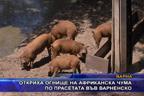 Откриха огнище на африканска чума по прасетата във Варненско