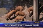 Умъртвиха над 60 прасета в с Тутраканци, взети са нови проби за африканска чума