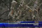 Бургас е нападнат от гъсеници на американската бяла пеперуда