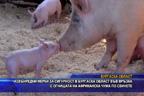 Извънредни мерки за сигурност в Бургаска област във връзка с огнищата на африканска чума по свинете