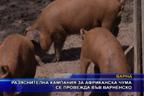 Разяснителна кампания за африканска чума се провежда във Варненско
