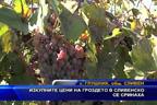 Изкупните цени на гроздето в Сливенско се сринаха