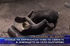 Огнище на Африканска чума по свинете в землището на село Българево