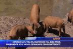 Африканската чума във Варненско е на диво прасе, към момента опасност за свинекомплексите няма