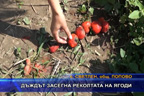 Дъждът засегна реколтата на ягоди