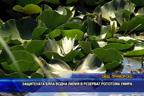 Защитената бяла водна лилия в резерват Ропотамо умира