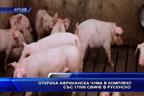 Откриха африканска чума в комплекс със 17 000 свине в Русенско