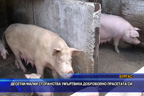 Десетки малки стопанства умъртвиха доброволно прасетата си