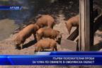 Първи положителни проби за чума по свинете в Смолянска област