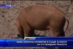 БАБХ започна проверки по къщи, в които са тглеждани прасета