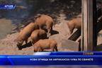 Нови огнища на африканска чума по свинете