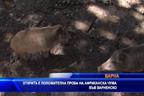 Открита е положителна проба за африканска чума на диво прасе в Аксаково