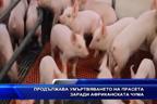 Продължава умъртвяването на прасета заради aфриканската чума