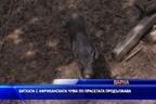 Битката с чумата по прасетата продължава