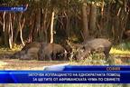 Започва изплащането на еднократната помощ за щетите от африканската чума по свинете