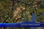 Гъсеници нападнаха дърветата