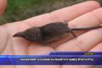 Най-малкият бозайник на планетата живее край Бургас