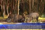 Ловът на дива свиня ще бъде разрешен за да се намали разпространението на Африканската чума