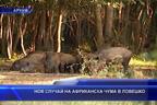 Нов случай на африканска чума в Ловешко