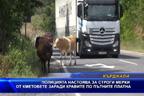 Полицията настоява местните власти да вземат мерки срещу кравите на пътя