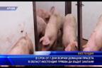 В срок от 7 дни всички домашни прасета в област Кюстендил трябва да бъдат заклани