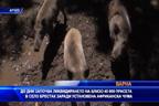 До дни започва ликвидирането на 40 000 прасета в Брестак заради Африканска чума