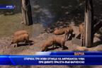 Откриха три огнища на Африканска чума при дивите прасета във Варненско