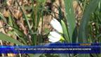 От РИОСВ – Бургас проверяват находищата на блатно кокиче