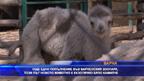 Бяло двугърбо камилче се роди в зоопарка във Варна